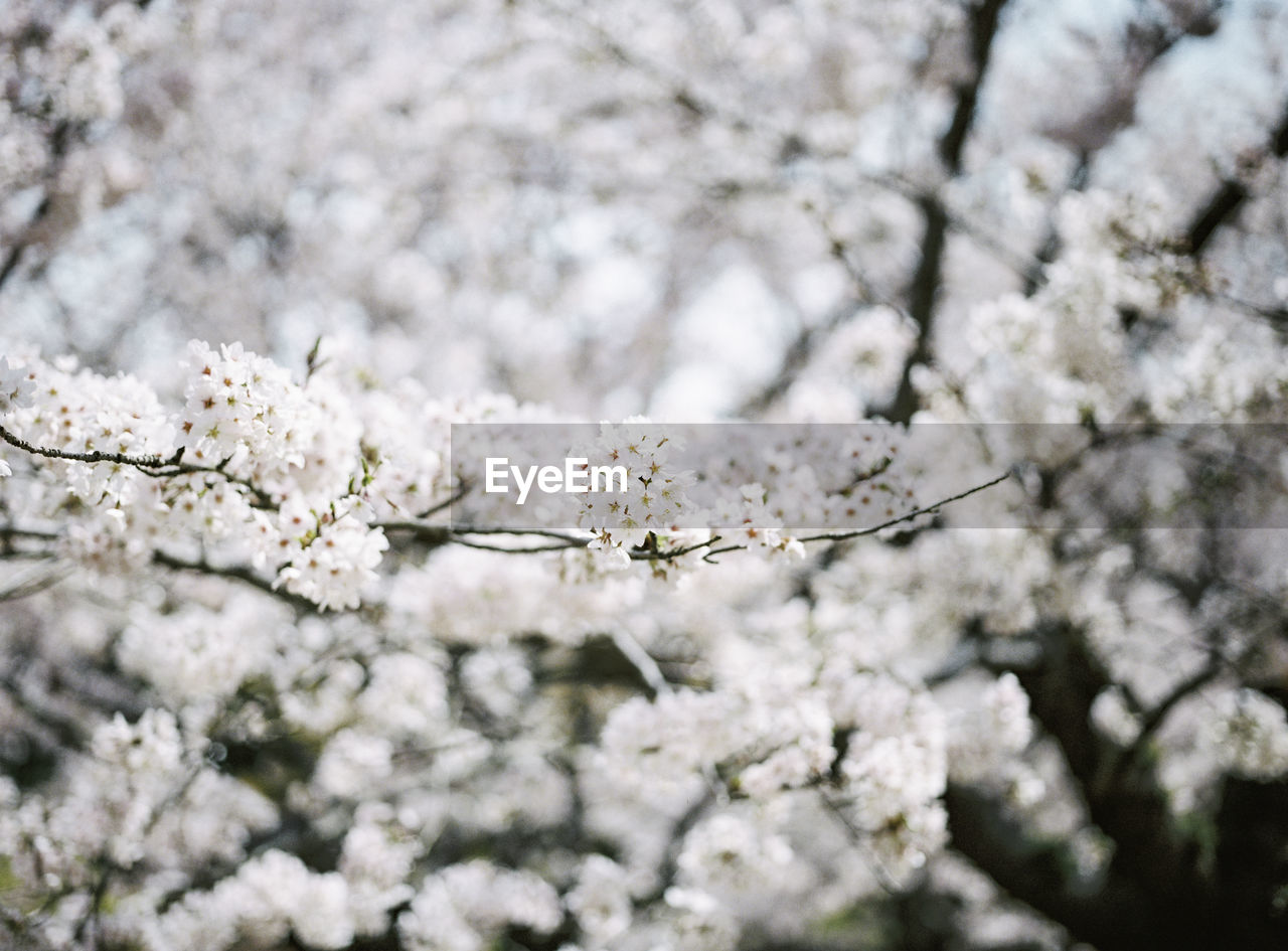 flower, flowering plant, fragility, plant, blossom, vulnerability, springtime, beauty in nature, freshness, growth, tree, white color, branch, nature, cherry blossom, day, close-up, no people, selective focus, cherry tree, outdoors, flower head