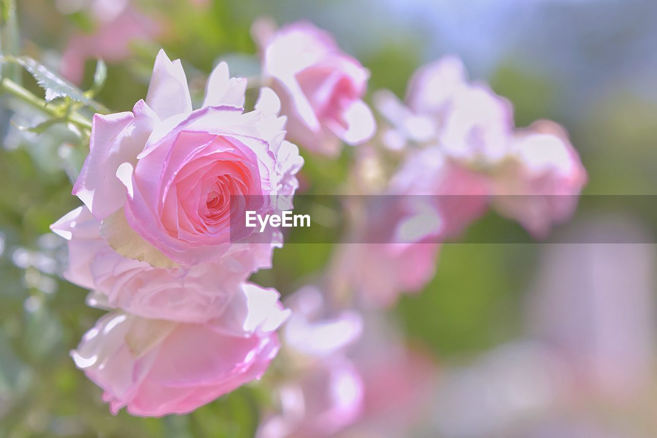 flower, flowering plant, plant, beauty in nature, fragility, vulnerability, petal, close-up, rose, freshness, flower head, rose - flower, inflorescence, growth, pink color, nature, day, focus on foreground, no people, outdoors