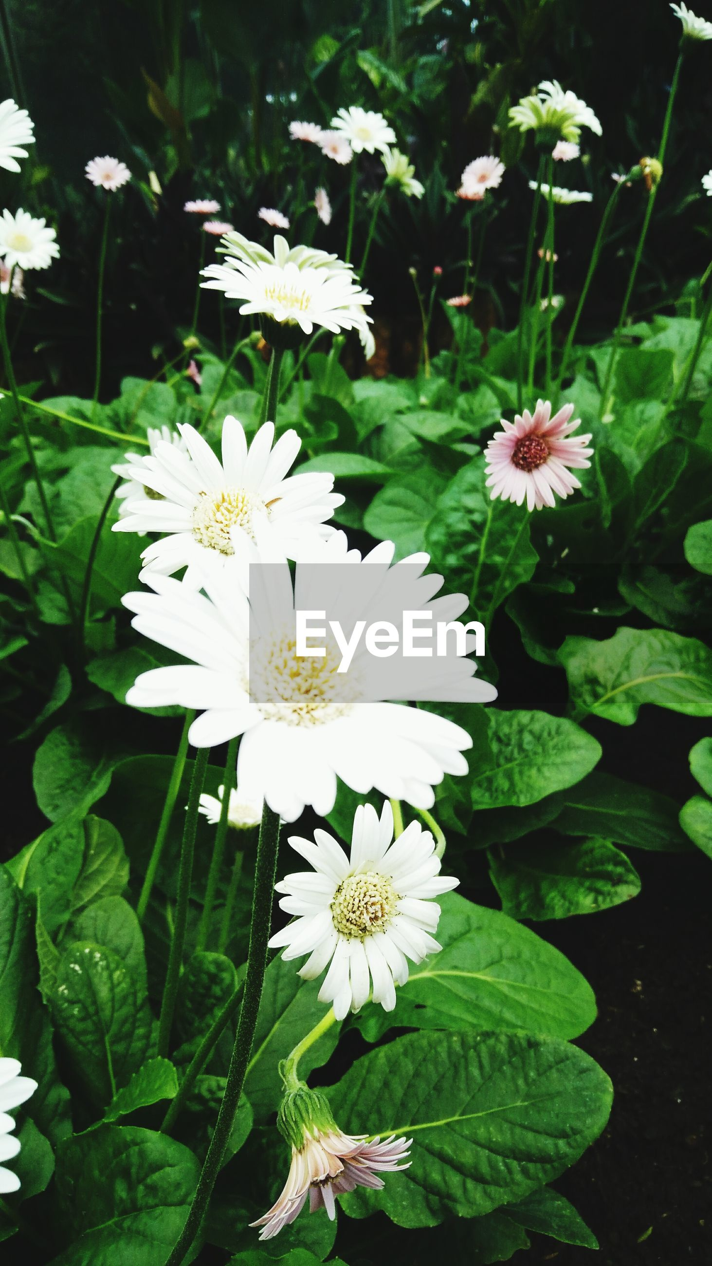 flower, freshness, white color, petal, fragility, growth, flower head, leaf, beauty in nature, blooming, plant, nature, green color, high angle view, white, pollen, close-up, in bloom, blossom, focus on foreground