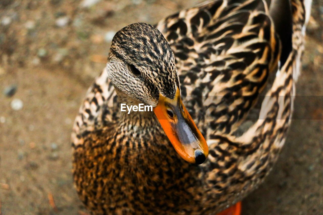 animal themes, animals in the wild, animal wildlife, one animal, animal, bird, vertebrate, close-up, no people, duck, poultry, day, focus on foreground, orange color, beak, mallard duck, nature, high angle view, outdoors, animal body part, animal head