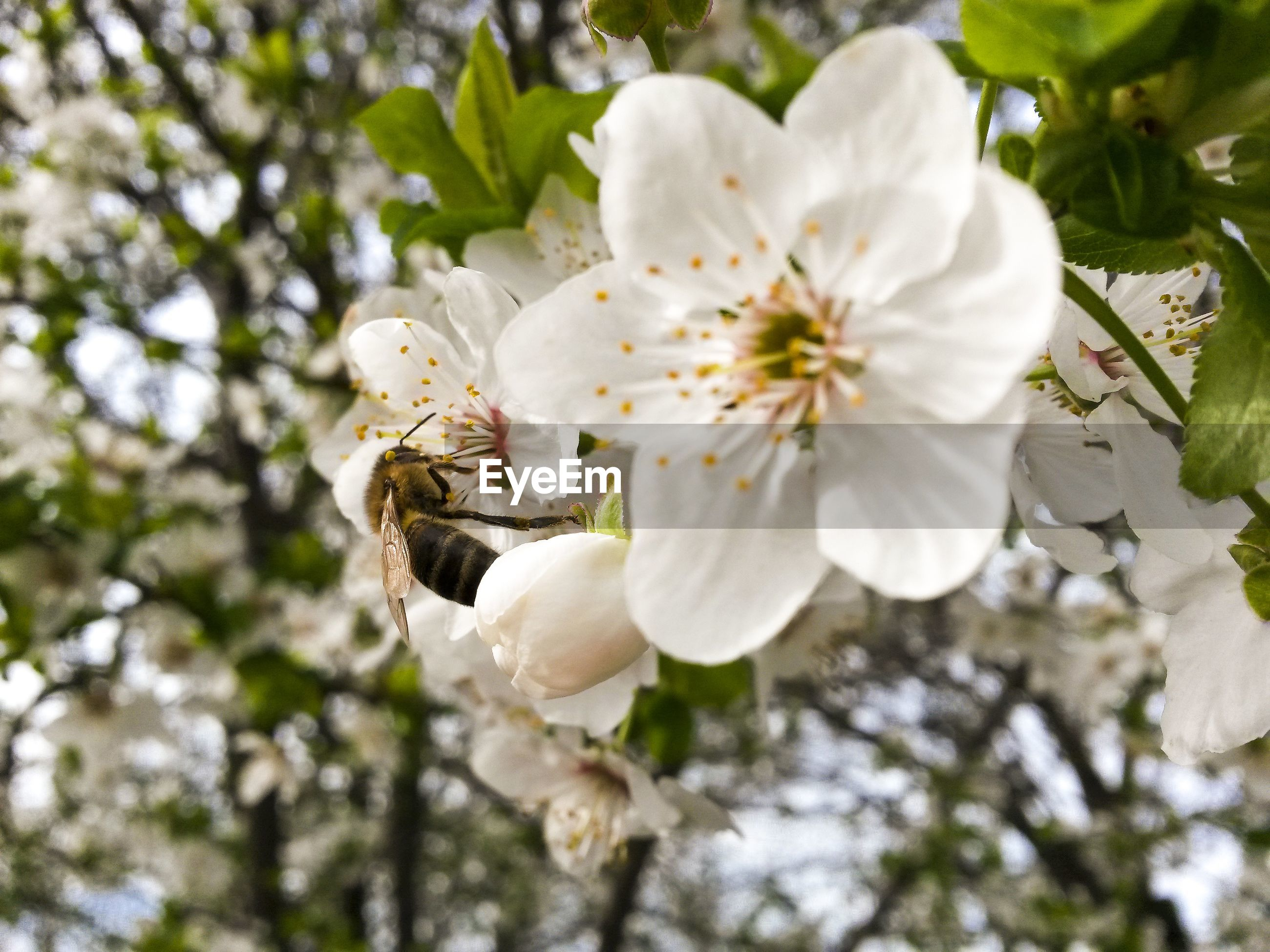 growth, nature, beauty in nature, white color, flower, petal, tree, close-up, fragility, no people, flower head, freshness, twig, day, outdoors, plant, branch, plum blossom, animal themes