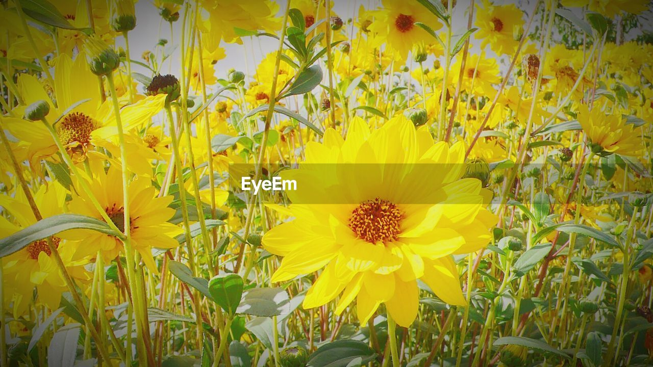 flower, yellow, growth, nature, petal, fragility, freshness, flower head, beauty in nature, plant, field, sunflower, blooming, no people, springtime, outdoors, day, close-up