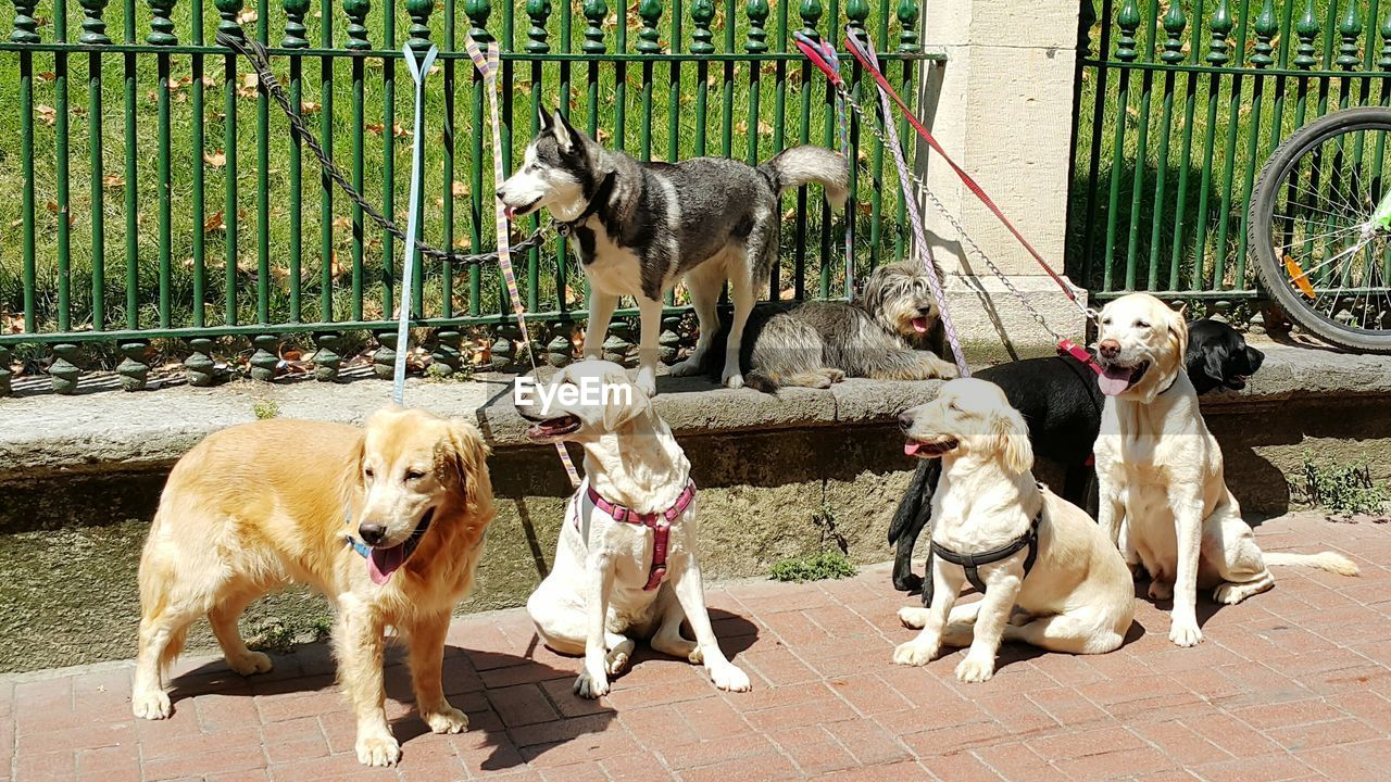 Dogs Tied On Fence At Footpath