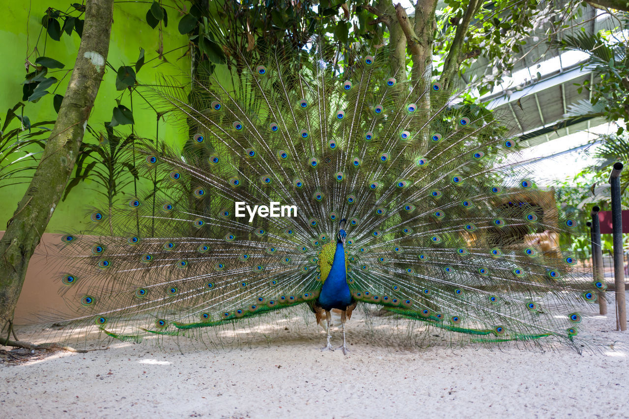 peacock, animal, animal themes, animal wildlife, one animal, bird, animals in the wild, tree, plant, male animal, vertebrate, nature, day, no people, green color, beauty in nature, feather, fanned out, peacock feather, outdoors
