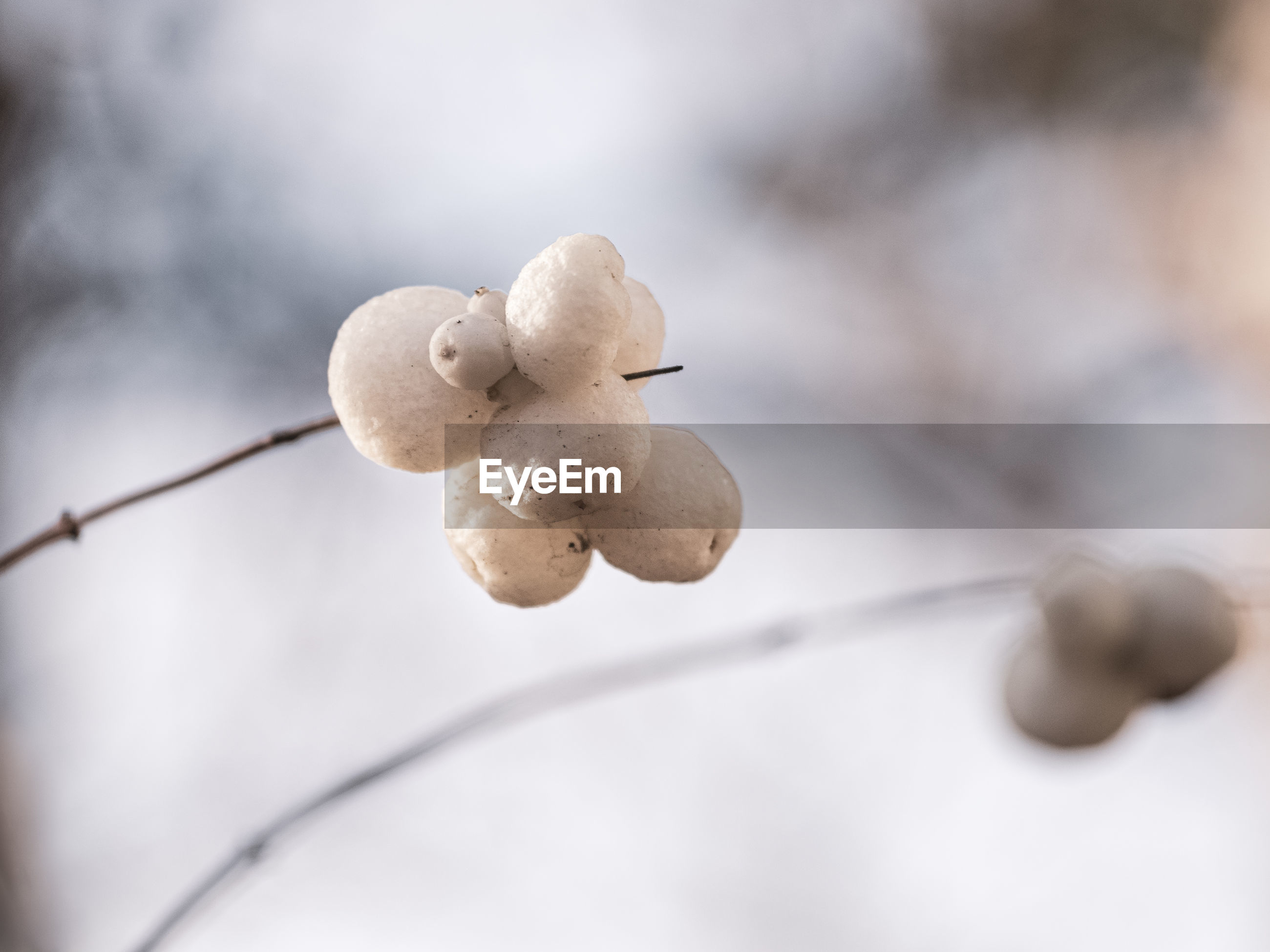 Close-up of white berry on twig