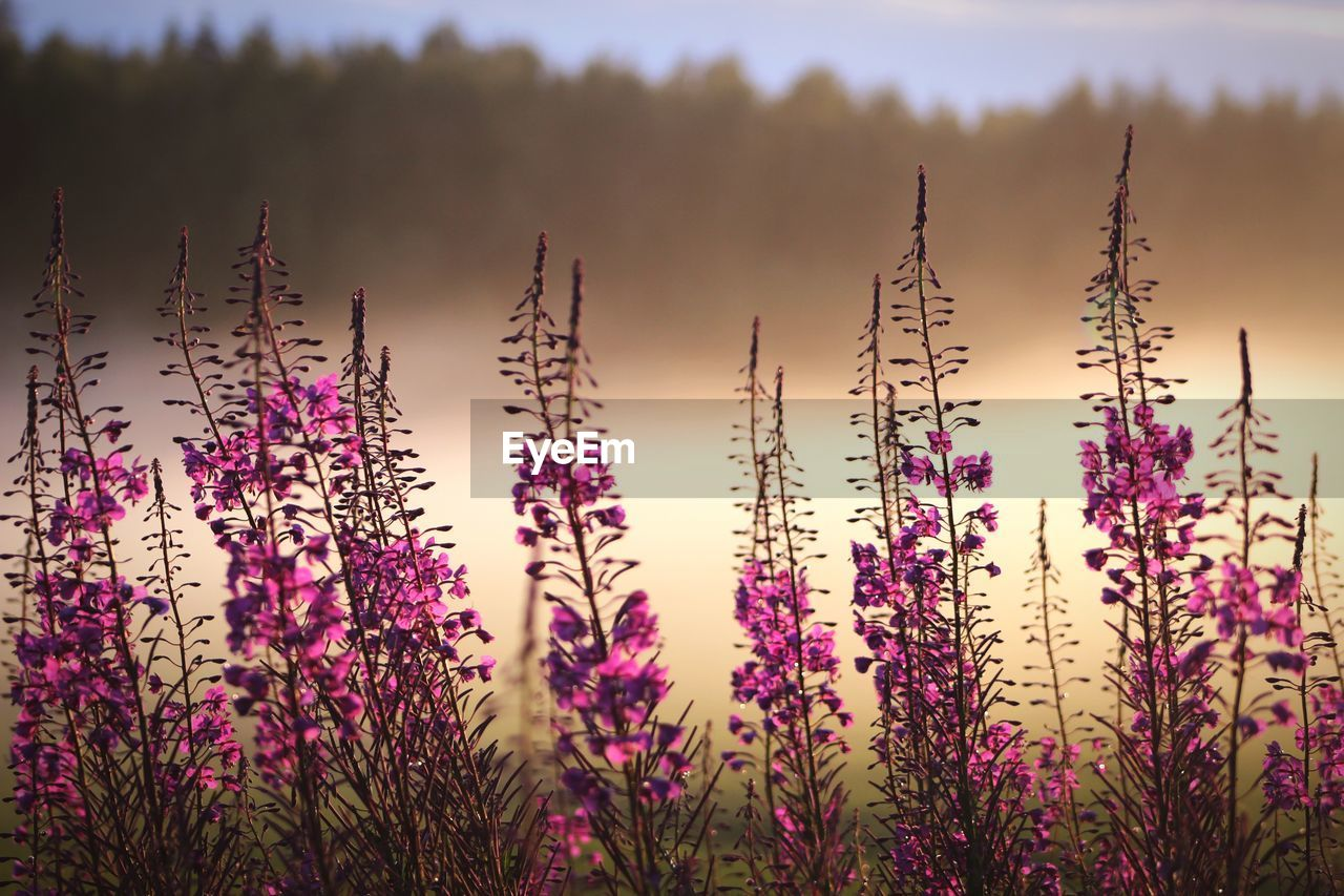 plant, growth, beauty in nature, flowering plant, flower, nature, vulnerability, no people, tranquility, fragility, day, freshness, sky, close-up, purple, outdoors, sunlight, field, land, focus on foreground
