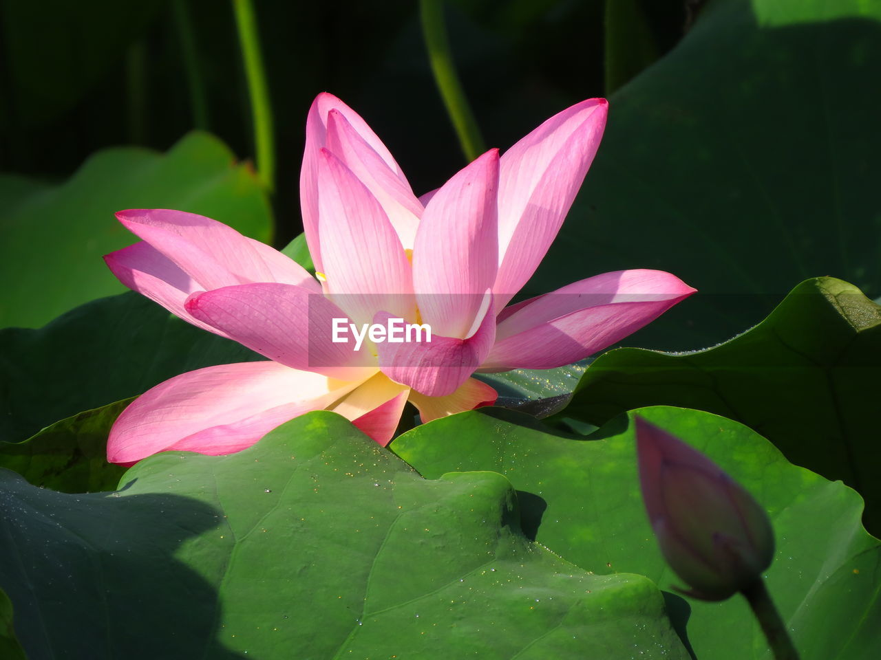 flower, flowering plant, plant, beauty in nature, leaf, petal, plant part, growth, vulnerability, freshness, close-up, fragility, inflorescence, flower head, pink color, nature, water lily, water, no people, lotus water lily, pond, outdoors