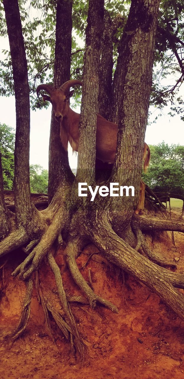 tree, tree trunk, trunk, plant, nature, land, day, forest, growth, tranquility, no people, root, outdoors, branch, wood, wood - material, bark, beauty in nature, old, tranquil scene