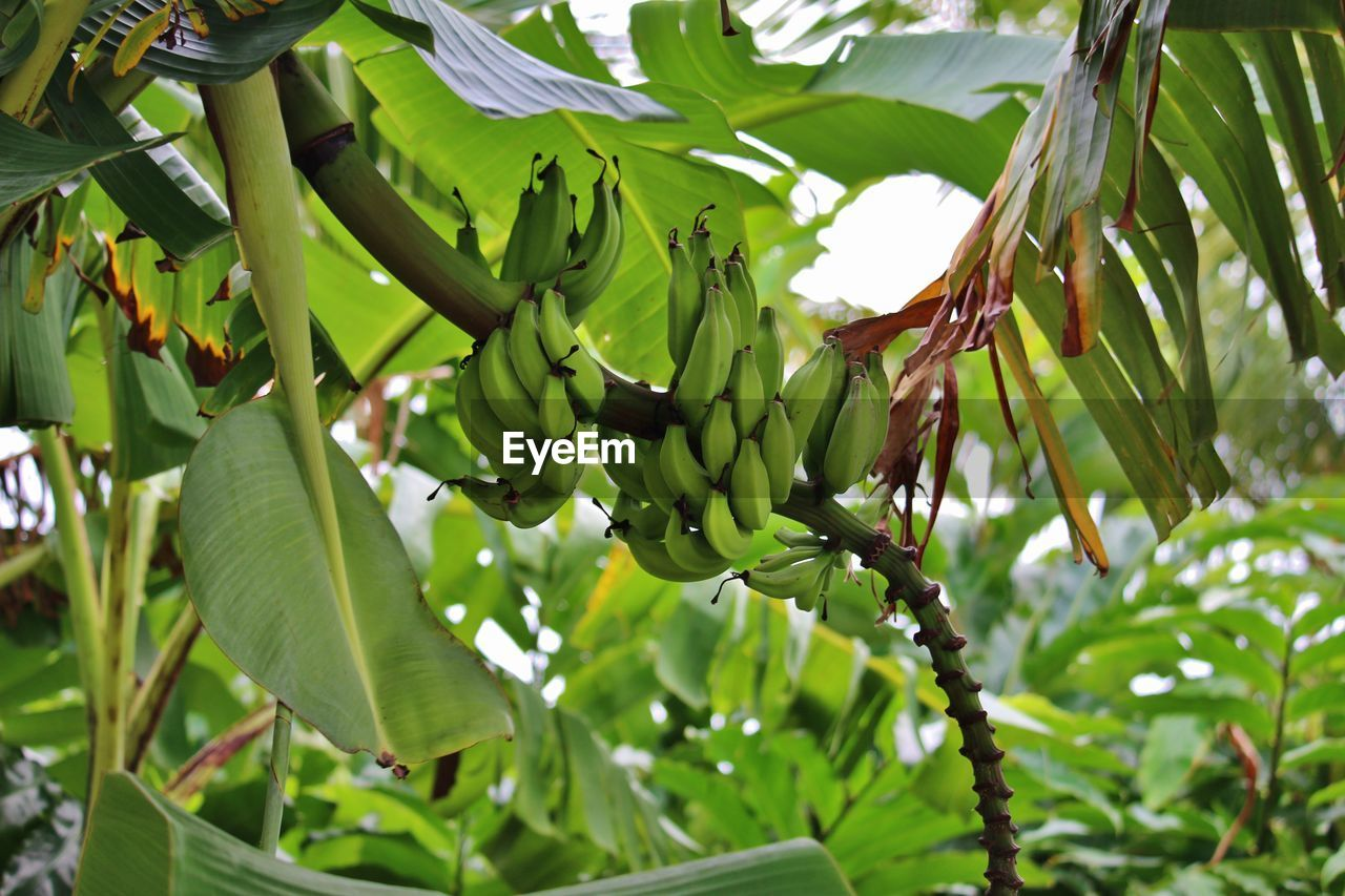 fruit, growth, food and drink, green color, banana, banana tree, food, leaf, tree, unripe, low angle view, freshness, no people, healthy eating, day, hanging, outdoors, bunch, nature, agriculture, banana leaf, close-up