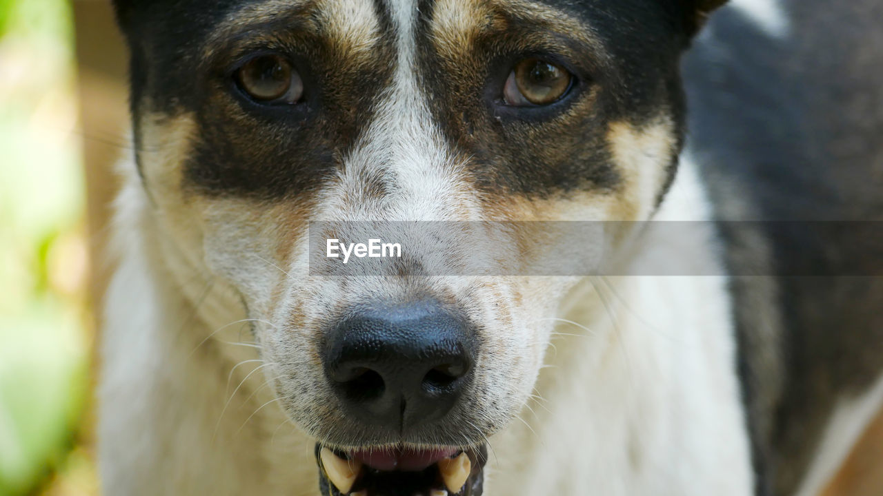 one animal, mammal, animal themes, animal, domestic, domestic animals, canine, dog, pets, close-up, vertebrate, animal body part, portrait, looking at camera, focus on foreground, animal head, day, no people, animal nose, snout, animal eye, animal mouth, mouth open, whisker