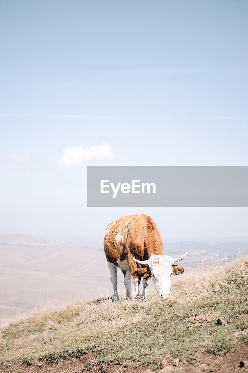 animal themes, mammal, animal, livestock, domestic animals, sky, vertebrate, domestic, pets, field, land, landscape, nature, animal wildlife, cattle, environment, day, no people, cow, domestic cattle, herbivorous