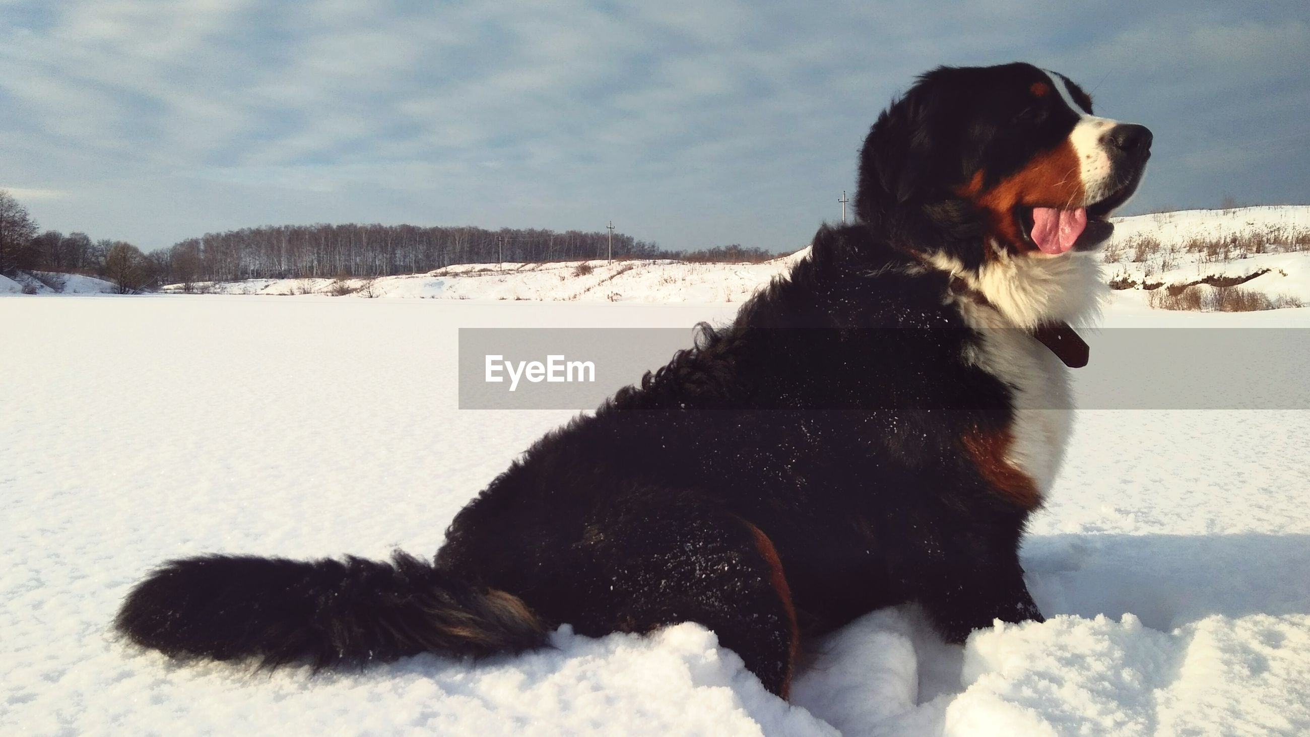 Bernese mountain dog sitting on snow covered field against sky