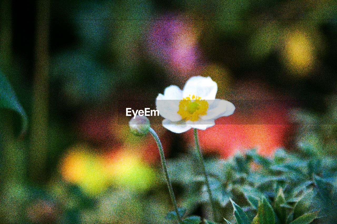 flowering plant, flower, vulnerability, fragility, beauty in nature, plant, freshness, growth, nature, close-up, petal, inflorescence, focus on foreground, flower head, no people, white color, day, outdoors, selective focus, plant stem, pollen