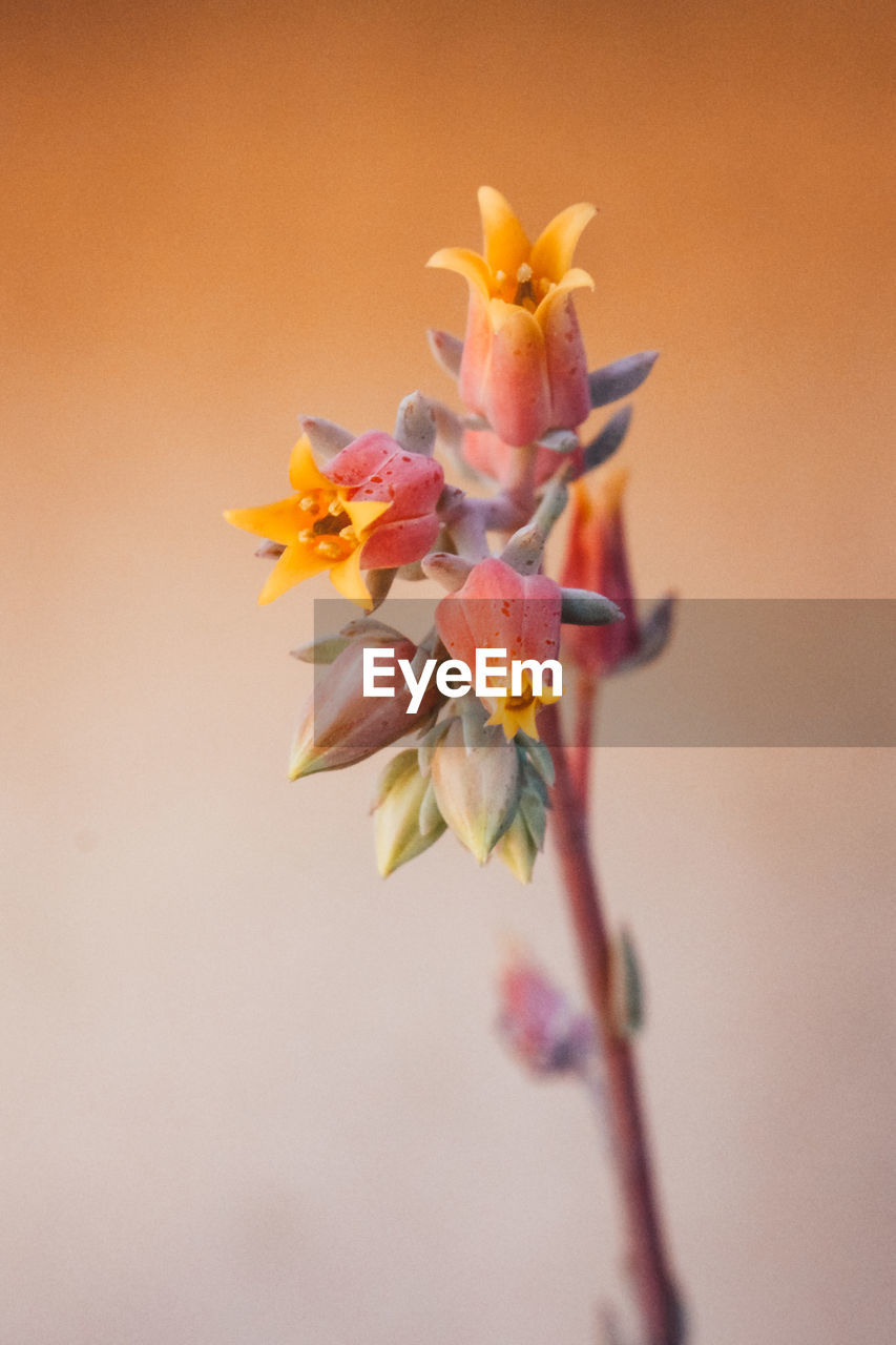 CLOSE-UP OF ORANGE PINK FLOWER