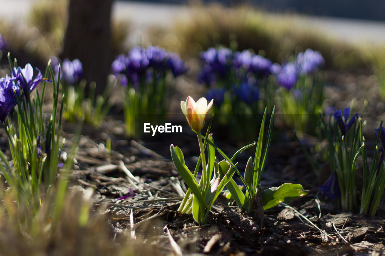 plant, growth, flower, flowering plant, vulnerability, beauty in nature, fragility, nature, freshness, selective focus, field, land, close-up, purple, crocus, iris, no people, day, petal, flower head, outdoors