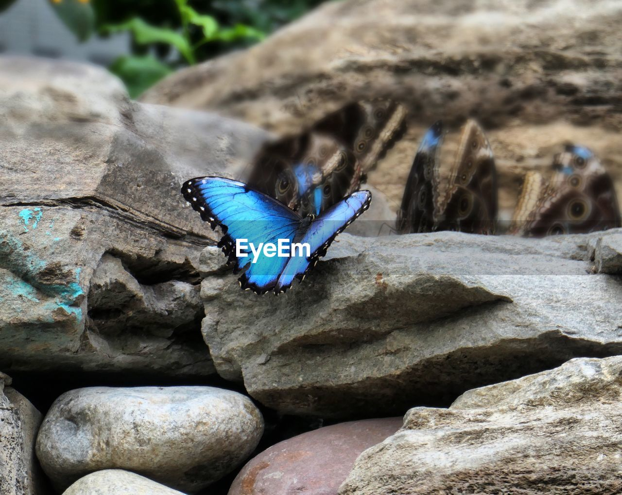 animal wildlife, animal, blue, animal themes, one animal, animals in the wild, solid, invertebrate, rock, animal wing, insect, rock - object, no people, day, nature, close-up, focus on foreground, butterfly - insect, beauty in nature, outdoors, butterfly