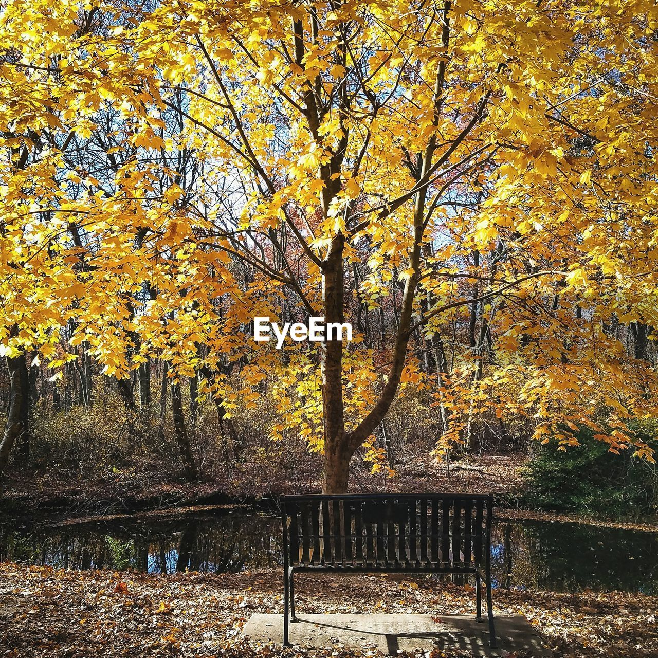 autumn, leaf, change, tree, nature, beauty in nature, park - man made space, tranquility, maple tree, scenics, tranquil scene, outdoors, branch, day, maple, maple leaf, no people, growth, yellow