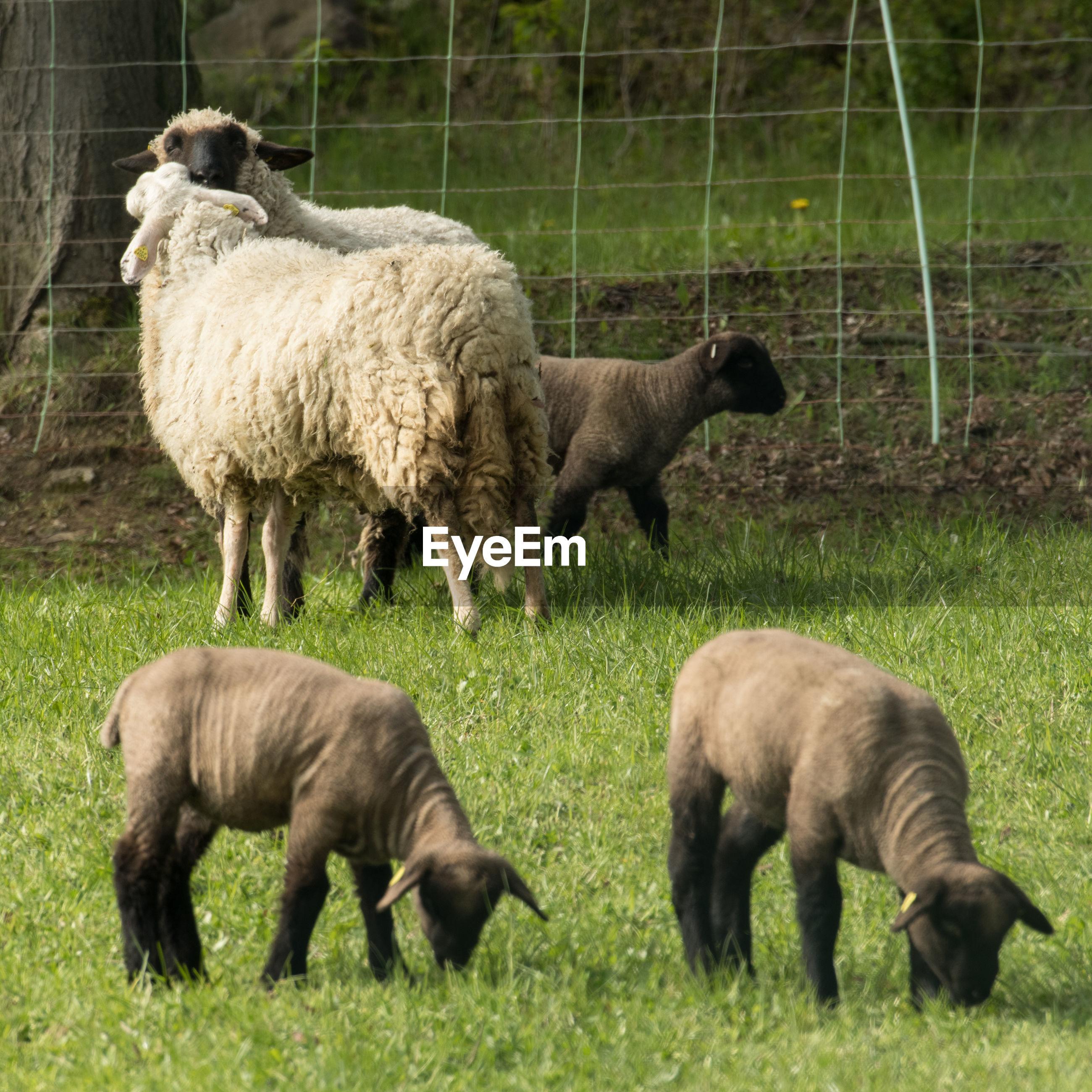 Sheep and lambs grazing at field