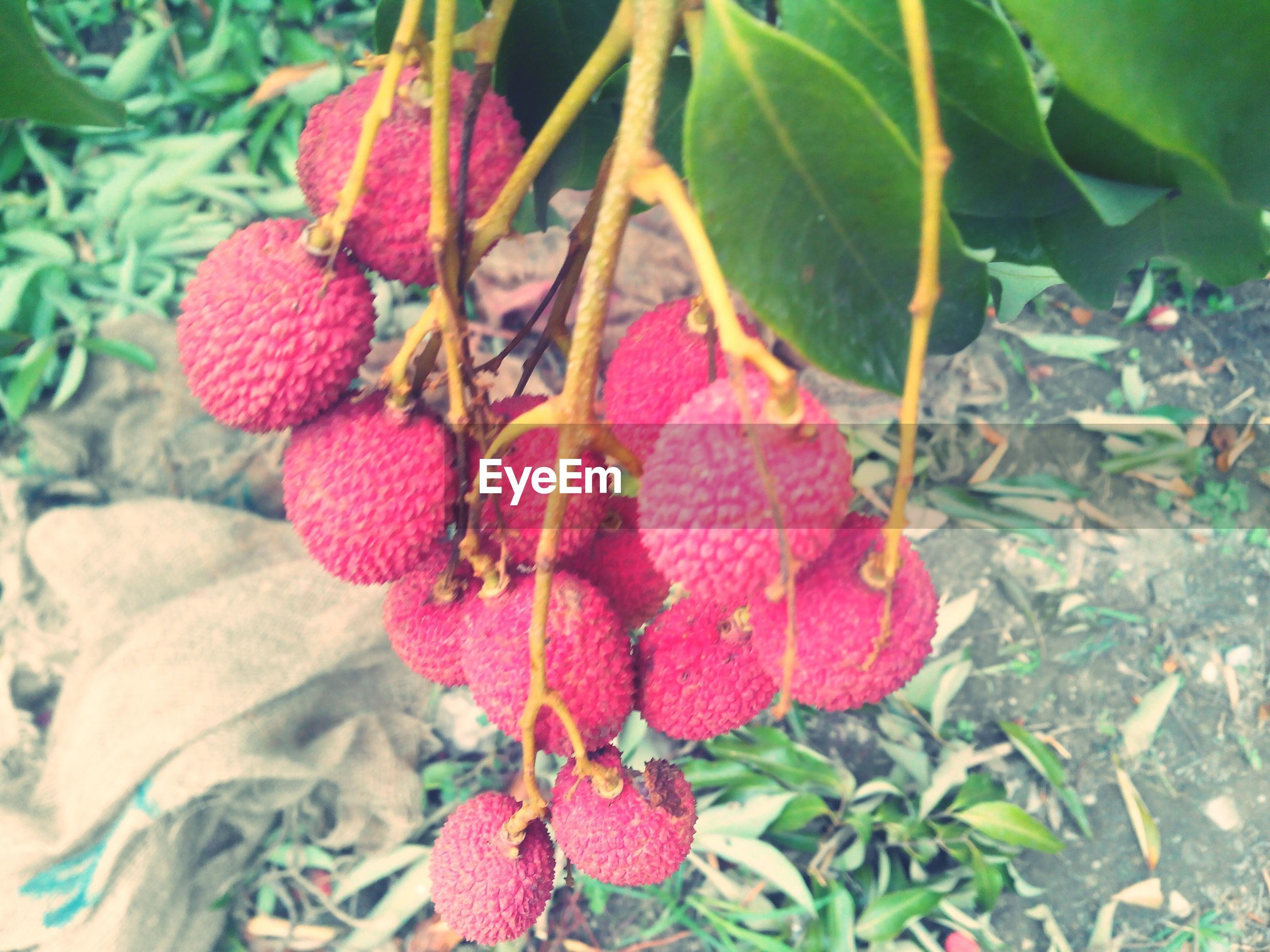 High angle view of lychees hanging on tree