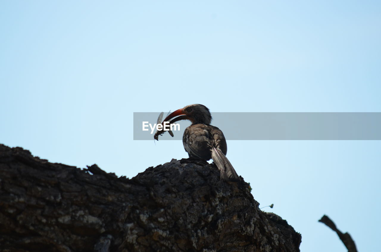 animal wildlife, animals in the wild, animal, animal themes, bird, vertebrate, sky, one animal, low angle view, clear sky, copy space, no people, rock, nature, rock - object, solid, perching, day, blue