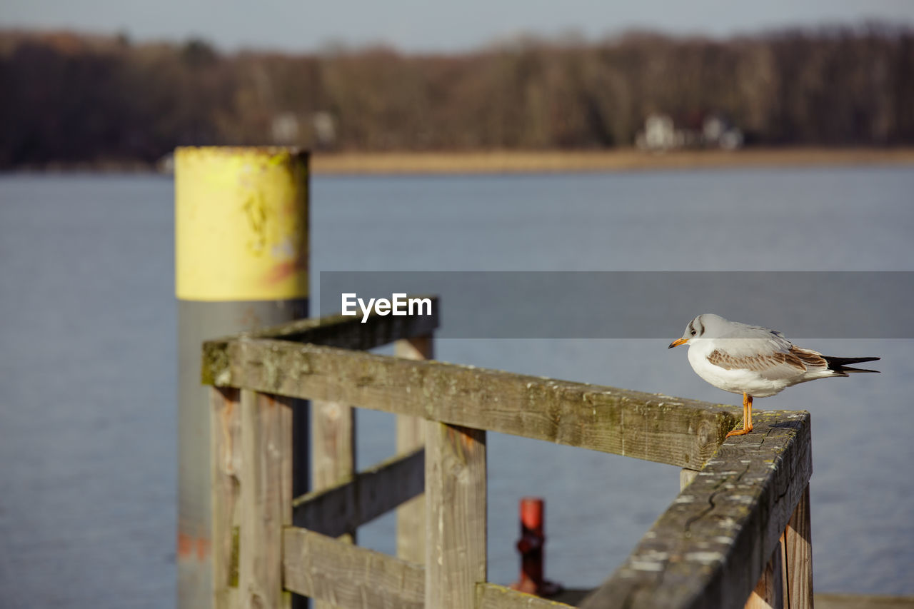 bird, animal themes, animal, vertebrate, animal wildlife, animals in the wild, perching, focus on foreground, wood - material, no people, seagull, one animal, water, day, nature, post, railing, outdoors, wooden post