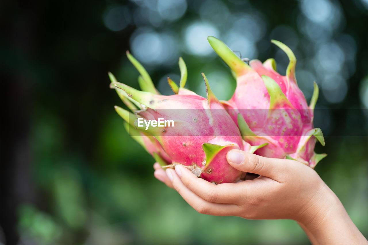 Cropped Hand Of Woman Holding Pitaya