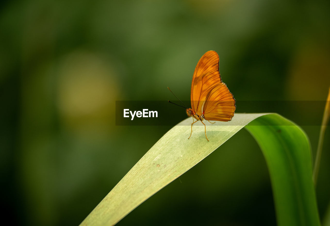 animal wildlife, invertebrate, animal themes, animals in the wild, insect, one animal, animal, animal wing, focus on foreground, beauty in nature, close-up, green color, plant, plant part, nature, day, no people, butterfly - insect, leaf, orange color, butterfly, blade of grass