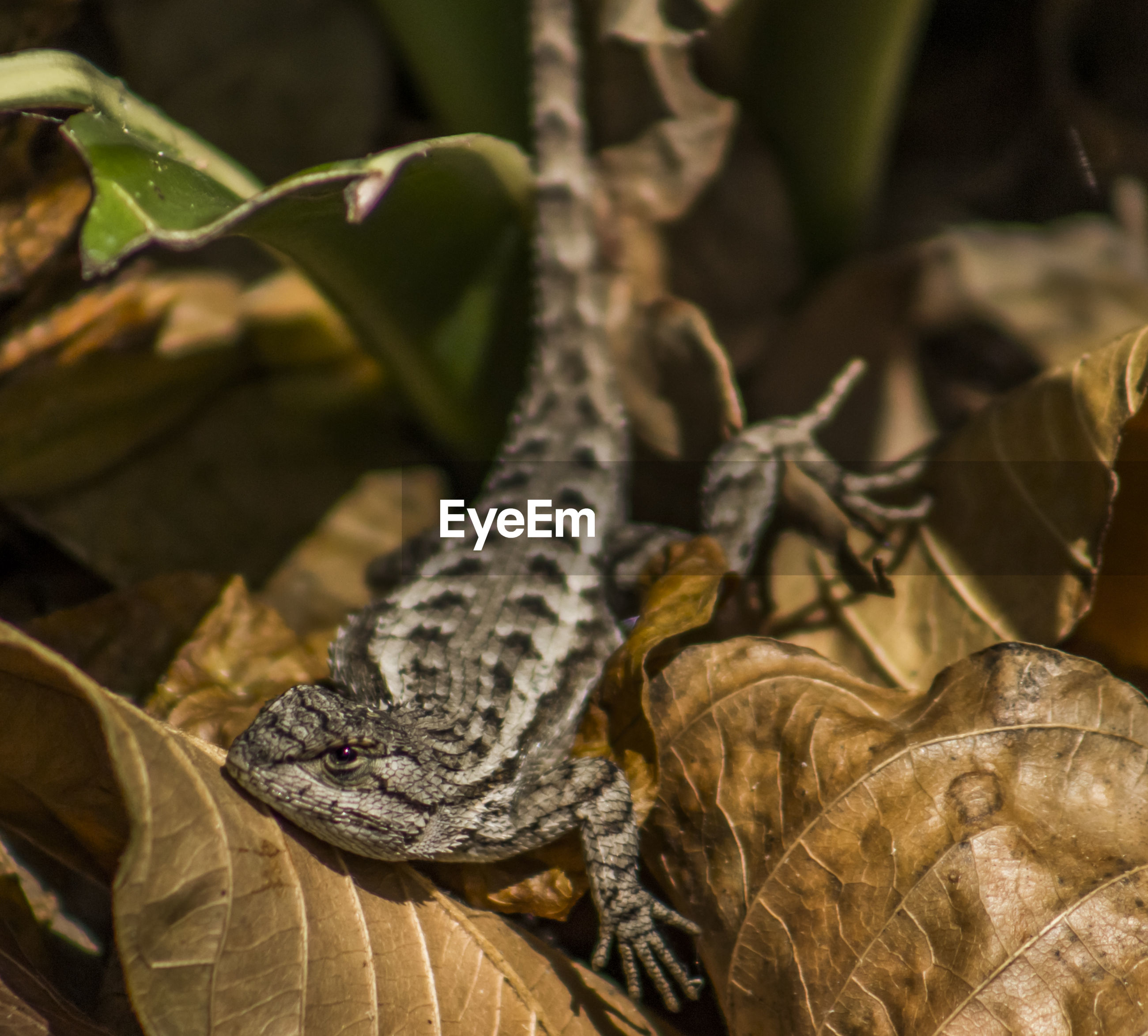 High angle view of lizard amidst dry leaves