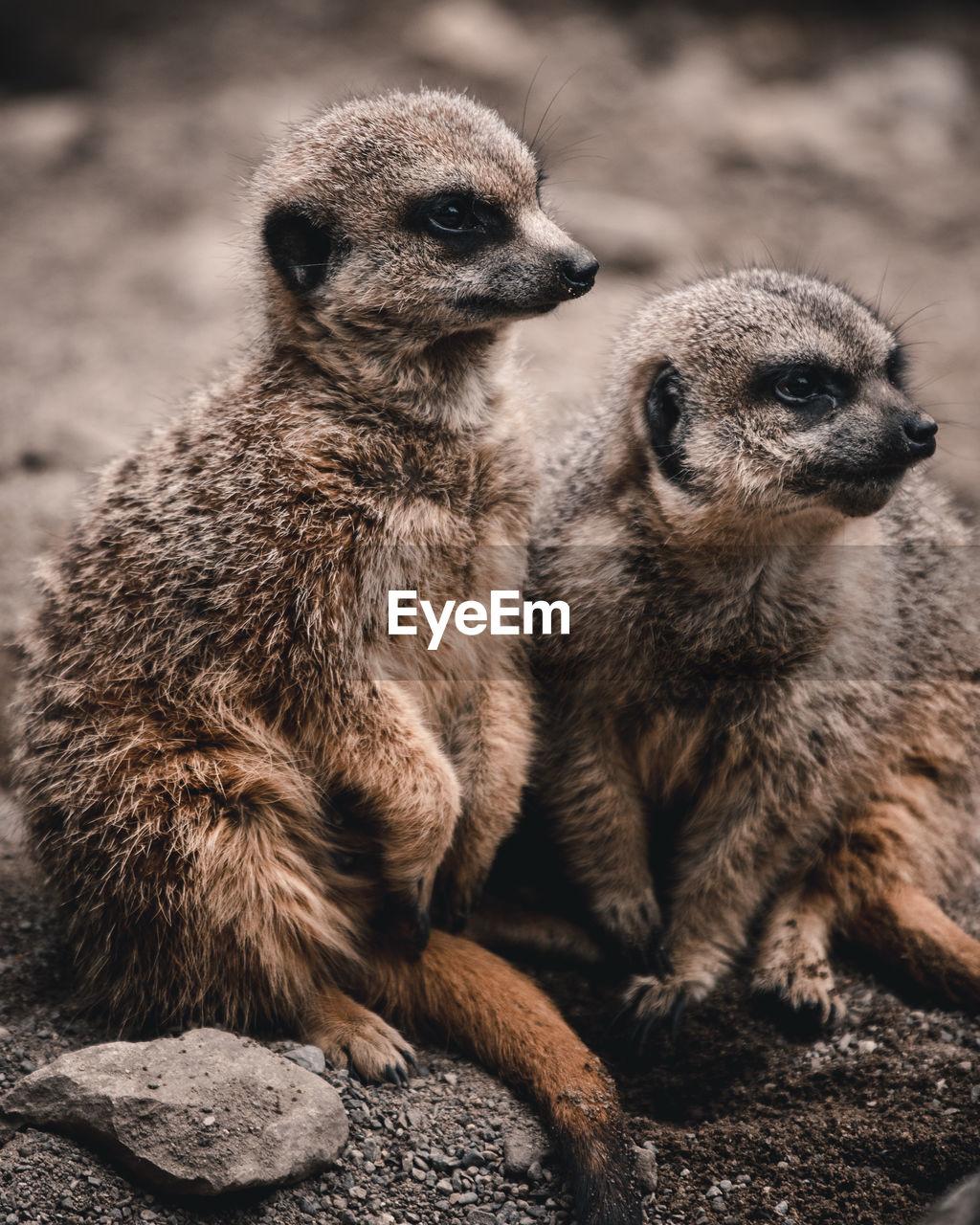 Close-up of meerkats looking away