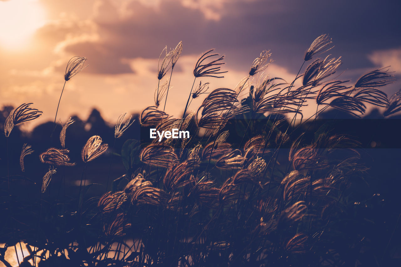 sky, growth, beauty in nature, plant, cloud - sky, nature, close-up, no people, tranquility, sunset, agriculture, field, sunlight, day, crop, outdoors, selective focus, scenics - nature, land, focus on foreground, stalk