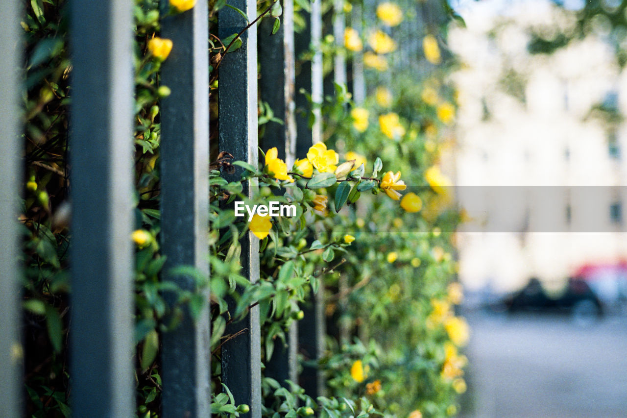 Yellow Flowers Amidst Fence