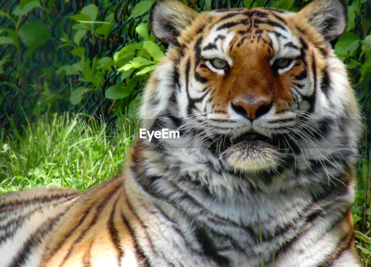 animals in the wild, one animal, tiger, animal themes, animal wildlife, day, mammal, nature, outdoors, no people, grass, animal markings, close-up, portrait