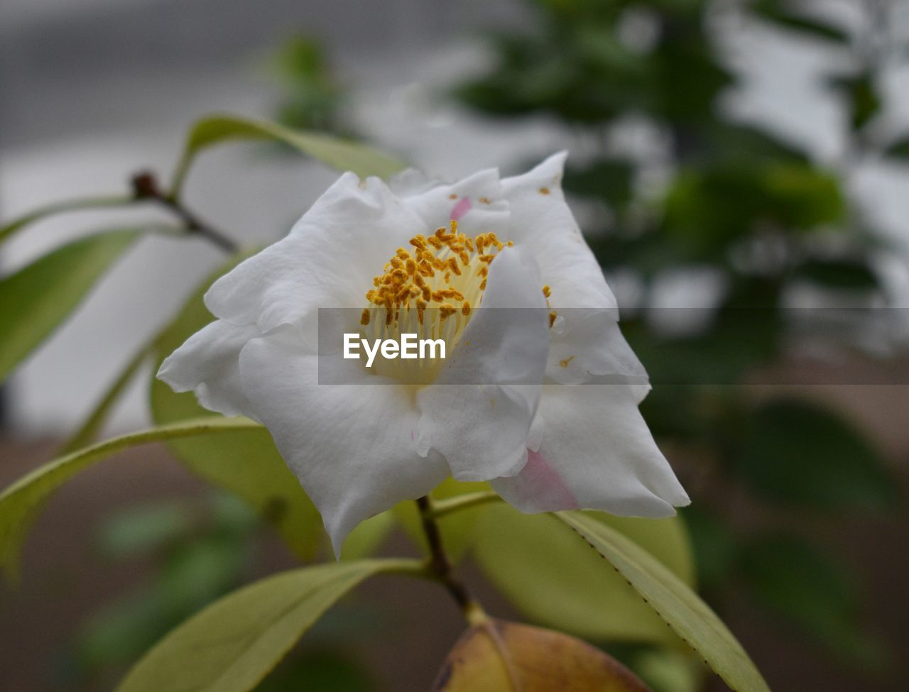 flowering plant, flower, beauty in nature, petal, vulnerability, fragility, plant, freshness, growth, flower head, white color, inflorescence, close-up, focus on foreground, pollen, nature, day, no people, outdoors