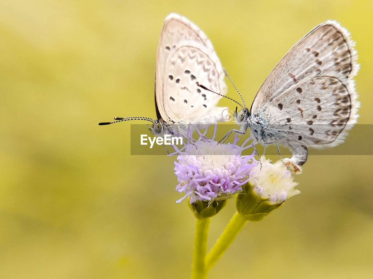 insect, invertebrate, flower, animal wildlife, animal themes, animal, animal wing, animals in the wild, flowering plant, one animal, beauty in nature, plant, butterfly - insect, close-up, fragility, vulnerability, pollination, focus on foreground, freshness, petal, flower head, no people, purple, butterfly