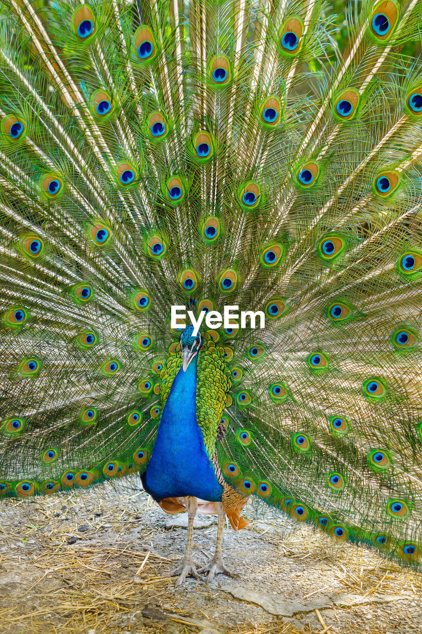peacock, bird, animal themes, animal, peacock feather, feather, one animal, animals in the wild, animal wildlife, vertebrate, fanned out, male animal, no people, beauty in nature, blue, day, multi colored, nature, beauty, green color, outdoors, animal head