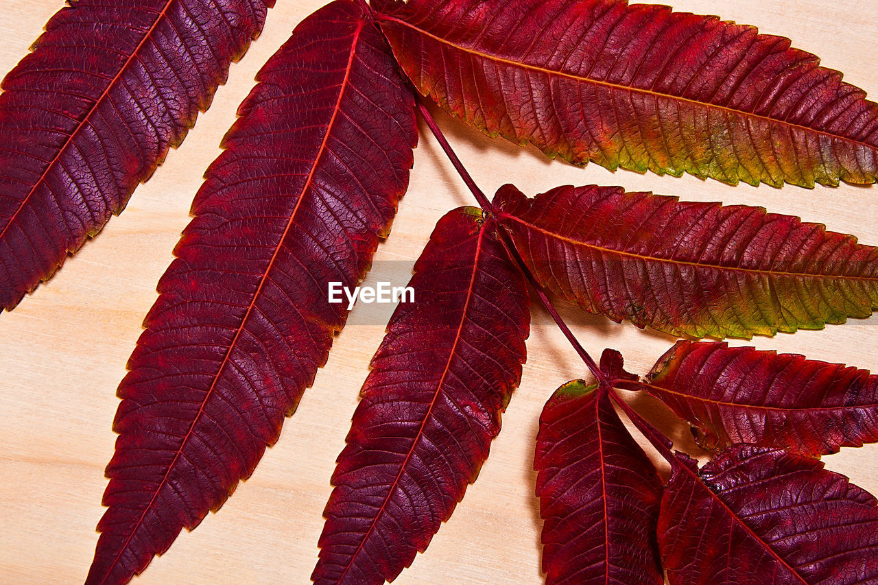 leaf, plant part, nature, no people, day, sunlight, red, beauty in nature, close-up, low angle view, change, outdoors, plant, leaf vein, autumn, multi colored, pattern, growth, shadow, natural pattern, leaves, layered