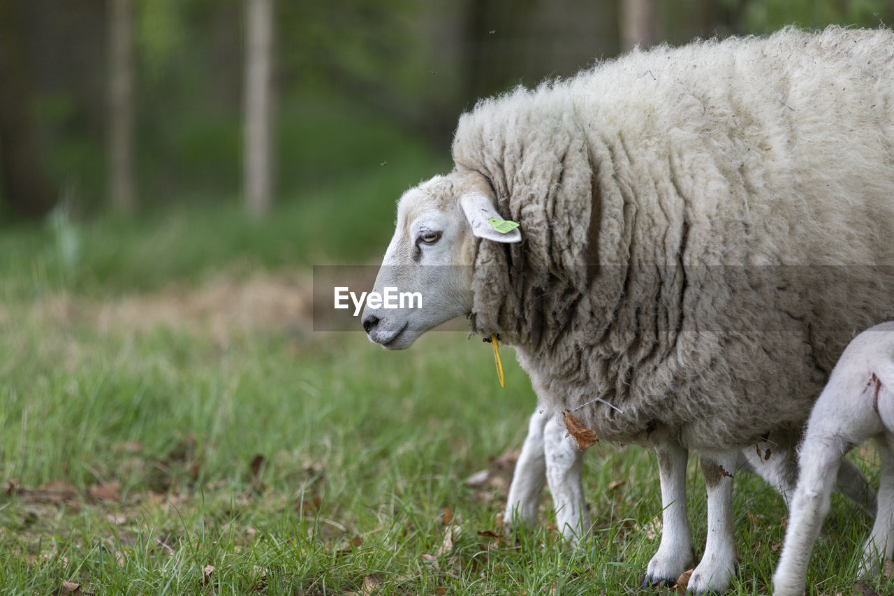 animal, animal themes, mammal, livestock, domestic, domestic animals, vertebrate, pets, field, one animal, plant, sheep, land, grass, no people, day, animal wildlife, focus on foreground, green color, nature, herbivorous, outdoors