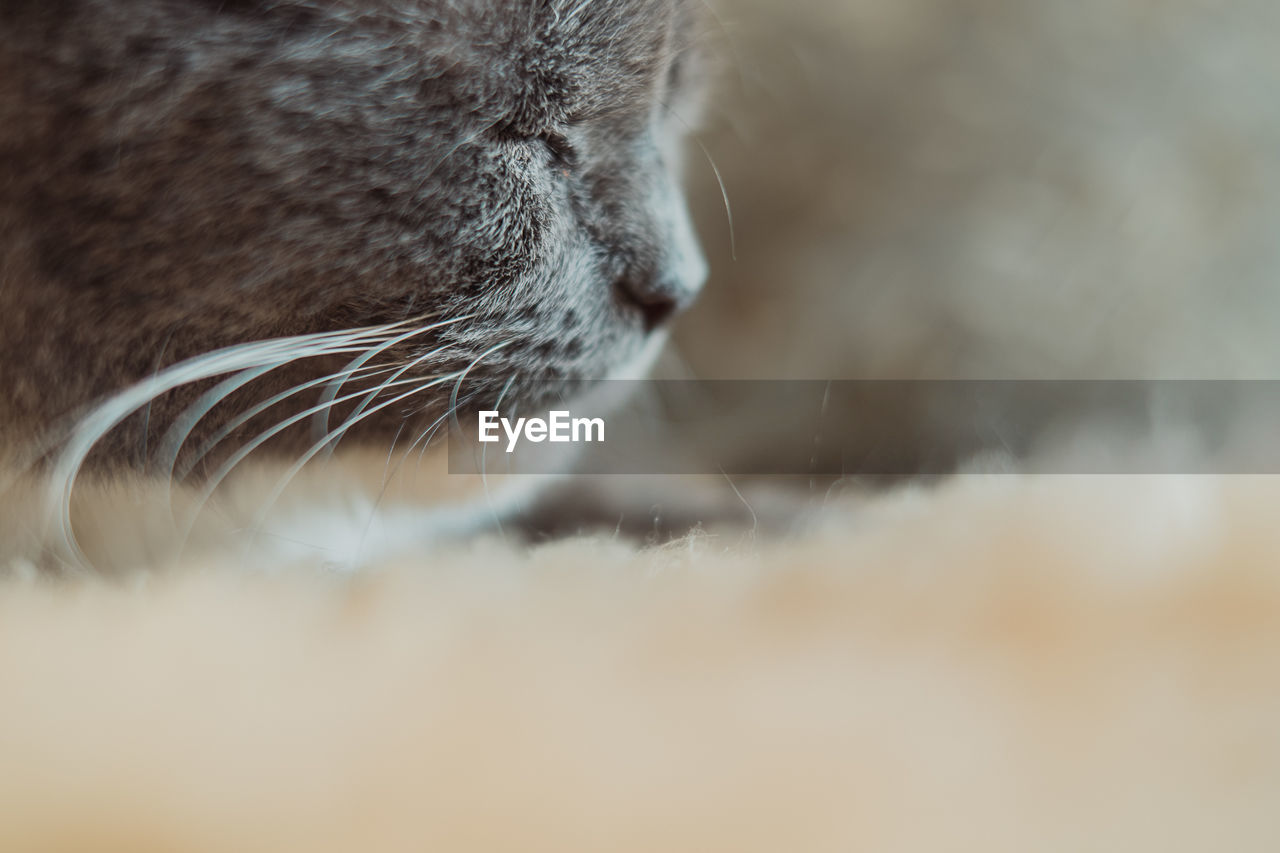 mammal, one animal, cat, animal, feline, animal themes, domestic cat, domestic, domestic animals, pets, vertebrate, close-up, animal body part, no people, selective focus, whisker, animal head, animal hair, relaxation, hair, animal nose, animal mouth, tabby