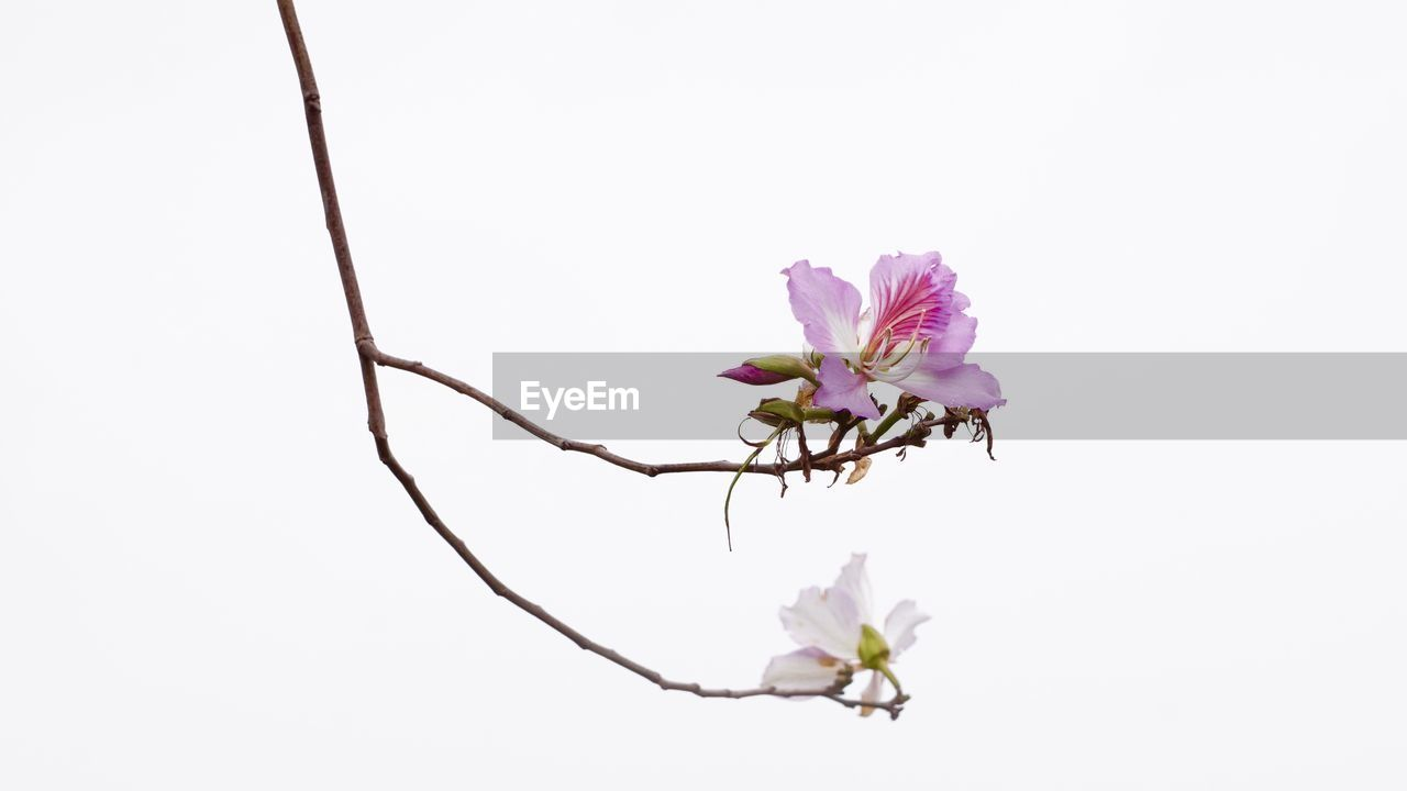flower, fragility, nature, copy space, beauty in nature, petal, white background, studio shot, freshness, no people, clear sky, flower head, growth, close-up, pink color, blooming, day, outdoors