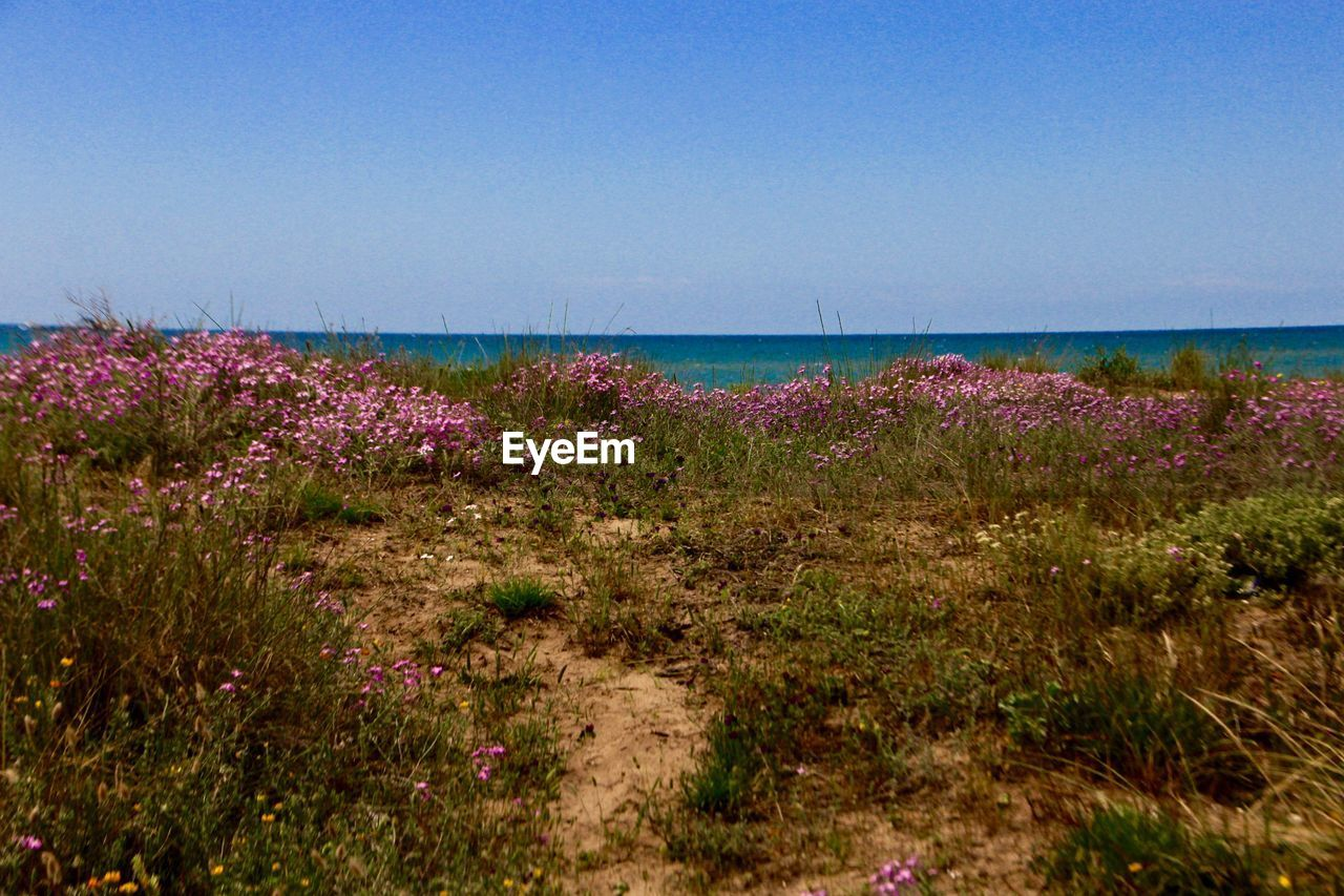 sky, flower, plant, beauty in nature, flowering plant, tranquility, tranquil scene, nature, land, scenics - nature, growth, water, clear sky, copy space, no people, sea, day, horizon, freshness, outdoors, horizon over water, purple