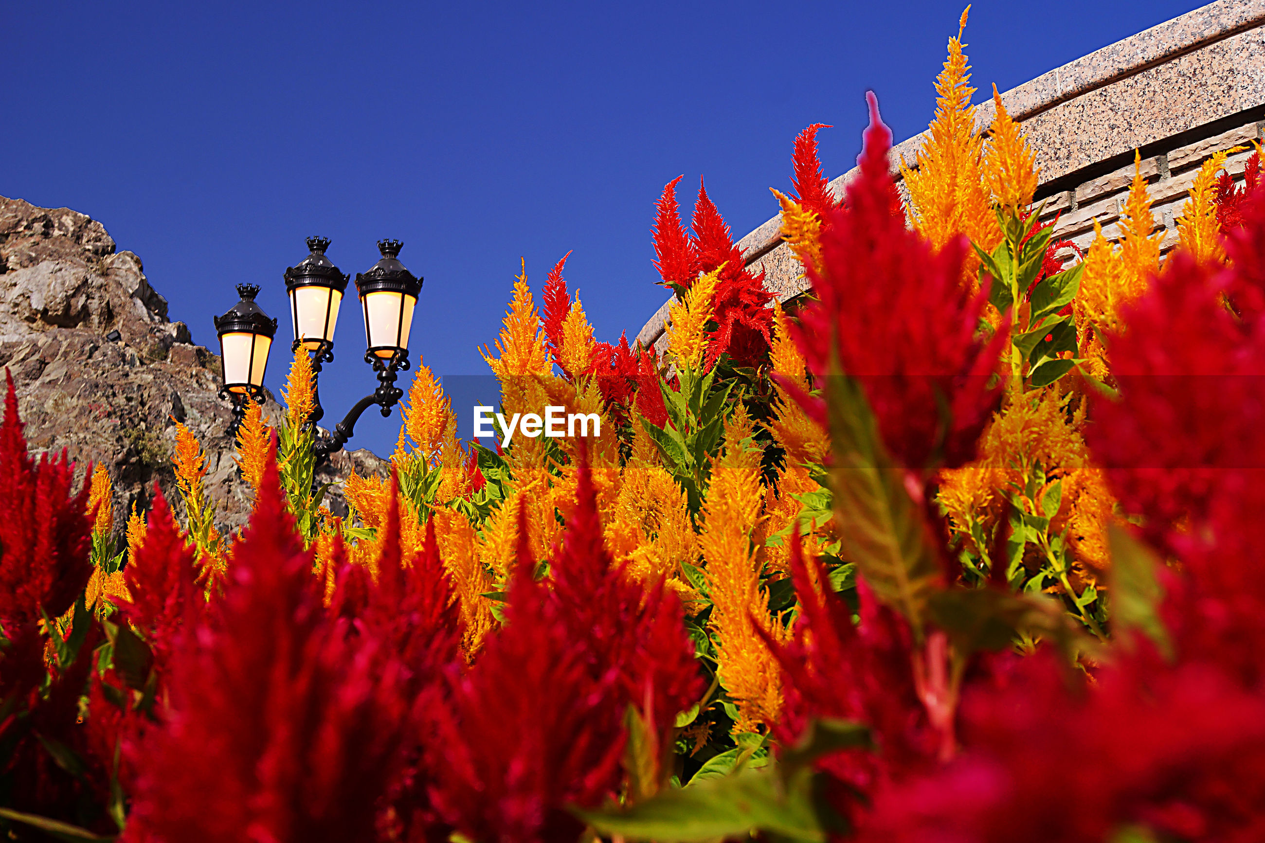 LOW ANGLE VIEW OF RED FLOWERS BLOOMING AGAINST CLEAR BLUE SKY