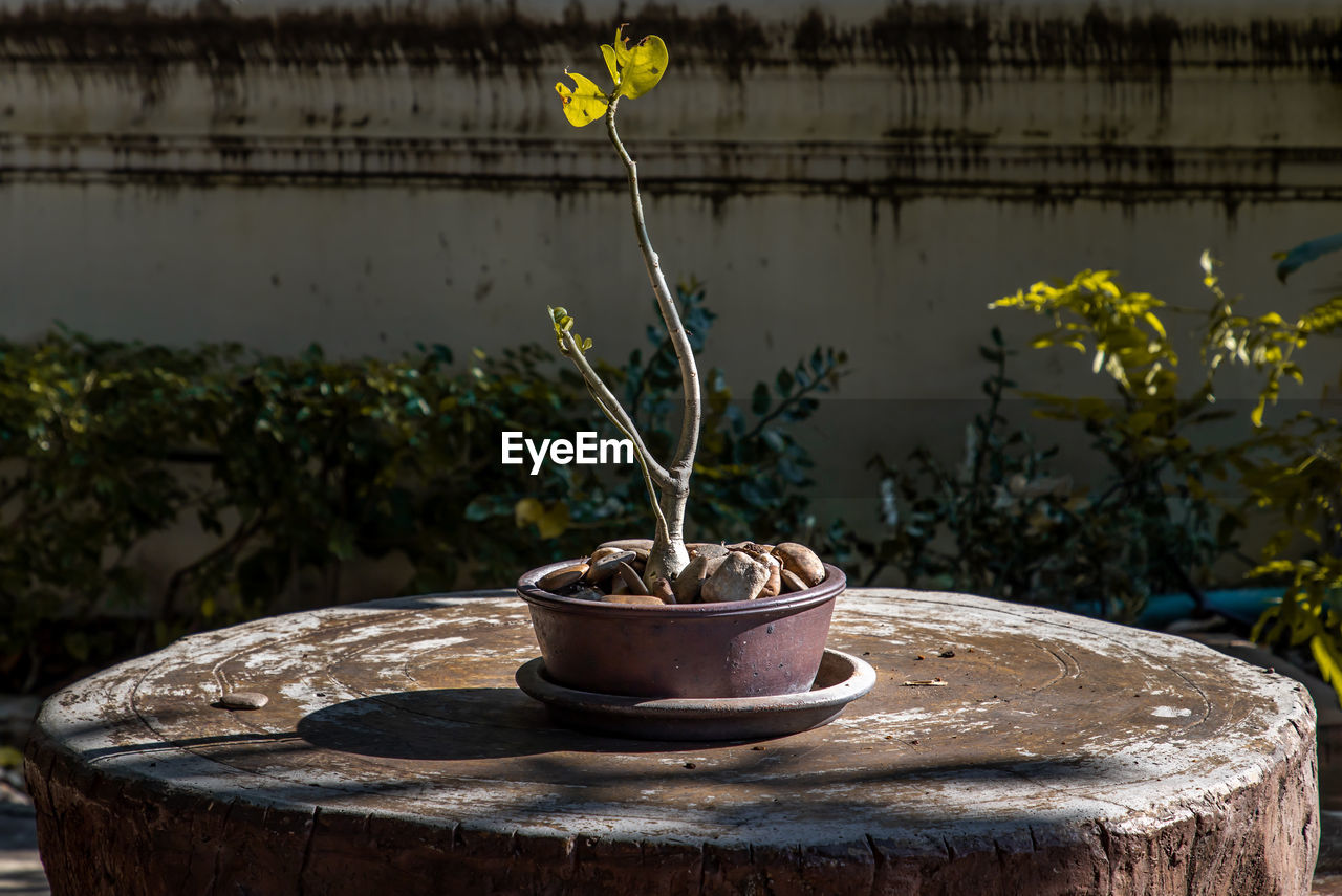 CLOSE-UP OF POTTED PLANT IN POT