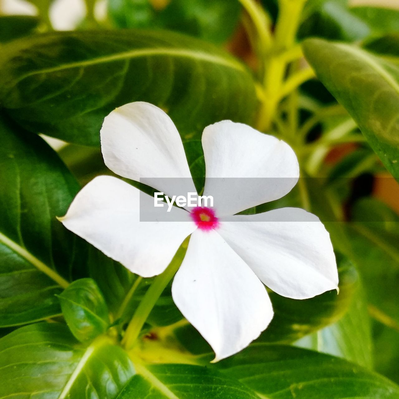 flowering plant, flower, beauty in nature, plant, growth, petal, white color, fragility, freshness, vulnerability, inflorescence, flower head, close-up, plant part, leaf, green color, no people, day, nature, focus on foreground, outdoors