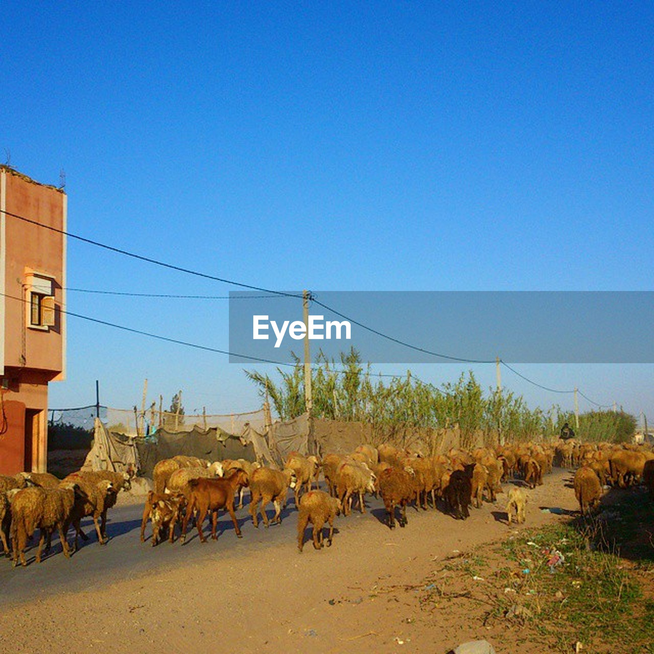 clear sky, animal themes, copy space, blue, domestic animals, mammal, livestock, built structure, one animal, building exterior, architecture, outdoors, day, wildlife, sky, animals in the wild, working animal, nature, sunlight