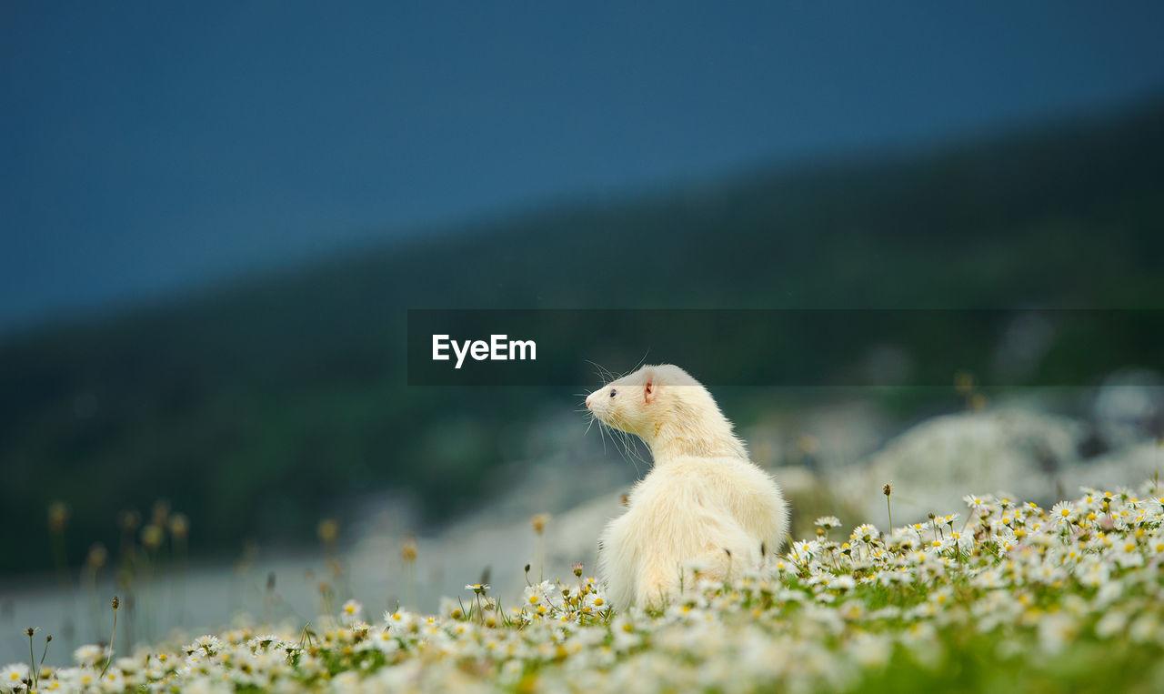 White ferret on grass