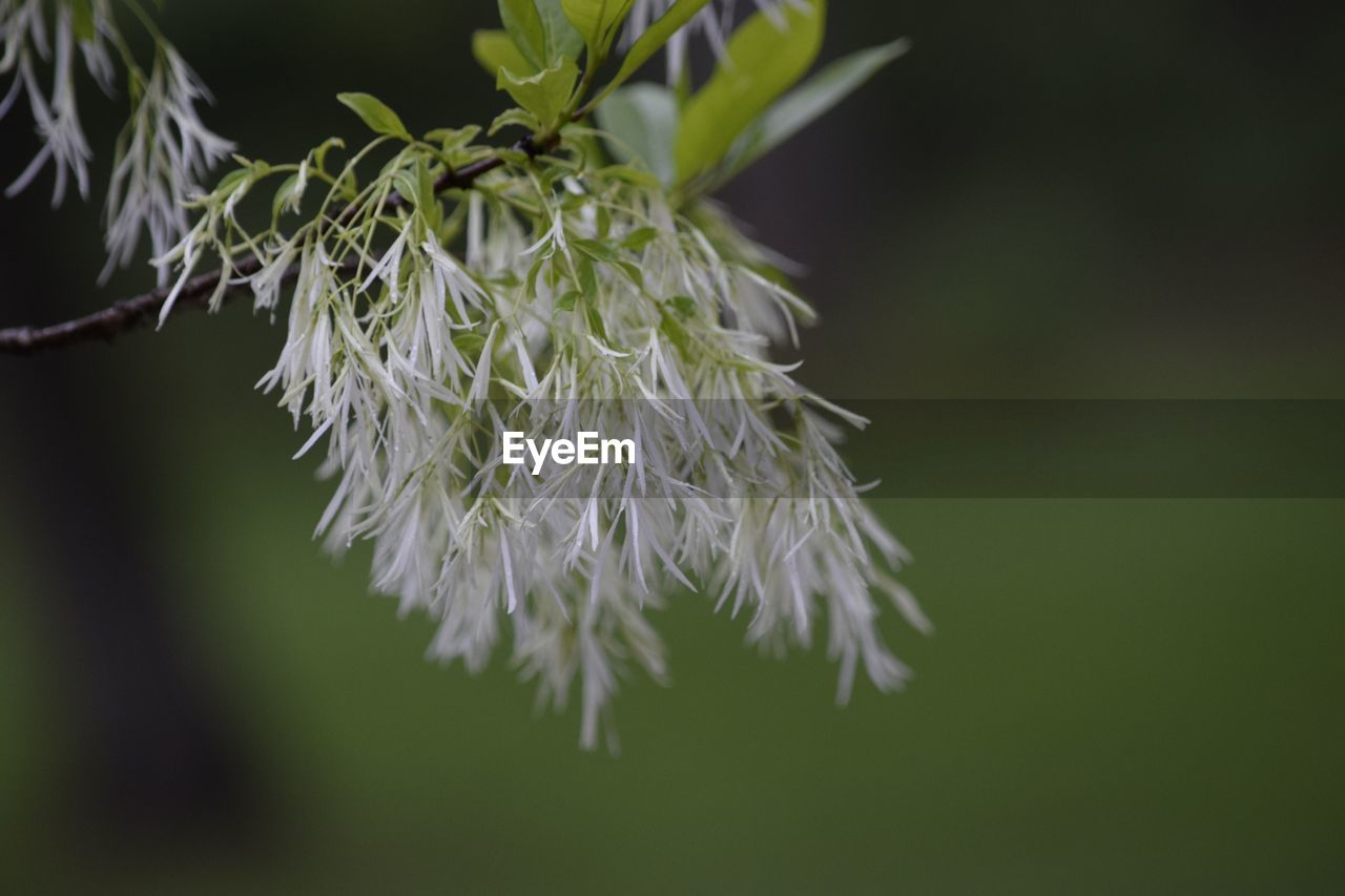 flower, nature, beauty in nature, fragility, white color, plant, growth, close-up, no people, green color, focus on foreground, petal, outdoors, day, flower head, freshness, branch, catkin