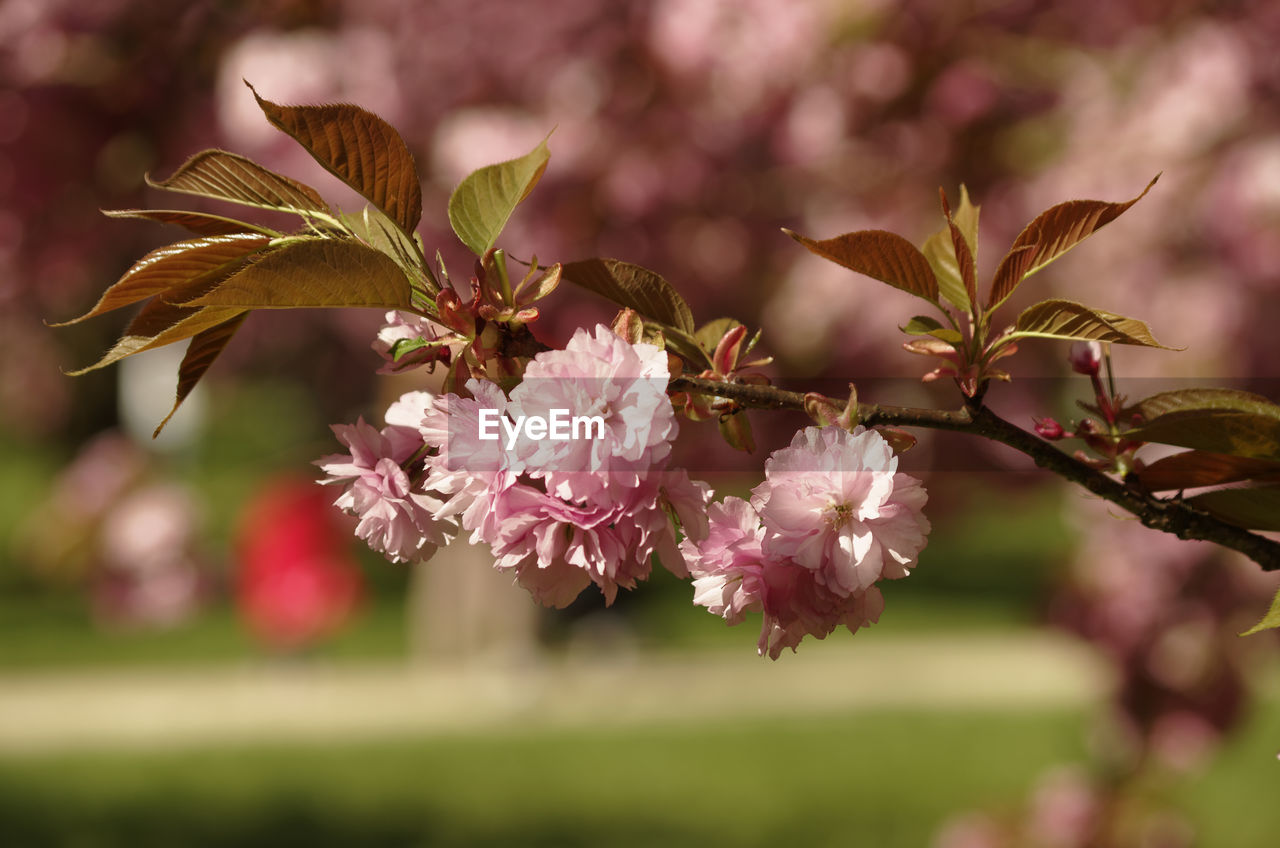 CLOSE-UP OF PINK FLOWERS TREE
