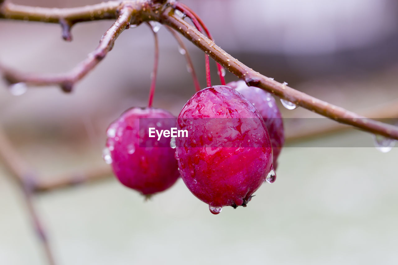 fruit, healthy eating, food and drink, food, close-up, focus on foreground, freshness, plant, growth, tree, no people, day, berry fruit, wellbeing, nature, branch, red, selective focus, beauty in nature, outdoors, ripe, raindrop