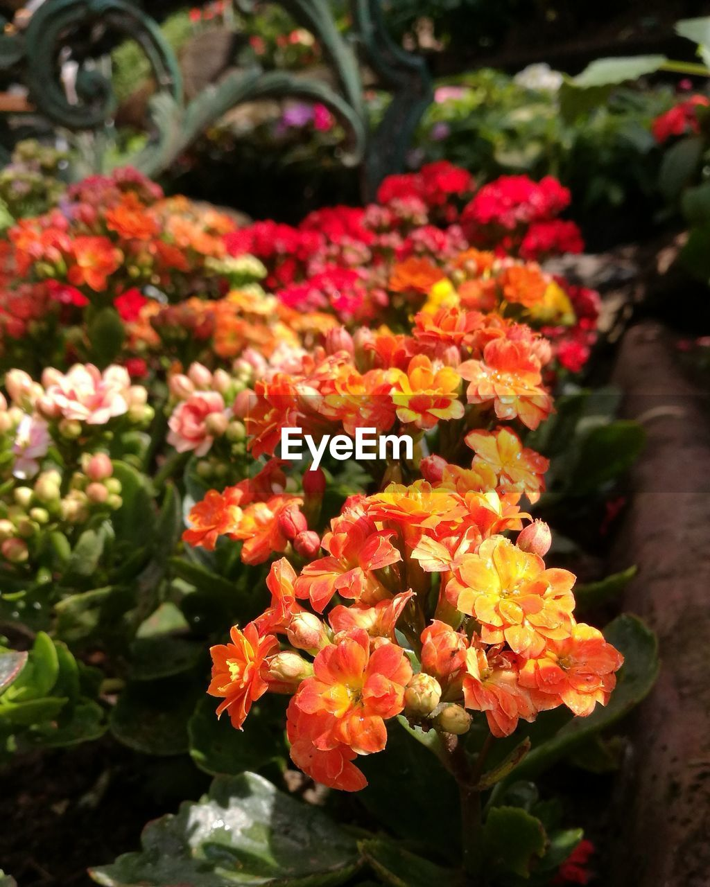 flowering plant, flower, fragility, vulnerability, plant, beauty in nature, freshness, growth, petal, inflorescence, flower head, close-up, nature, day, botany, no people, selective focus, outdoors, leaf, plant part, lantana, springtime, bunch of flowers