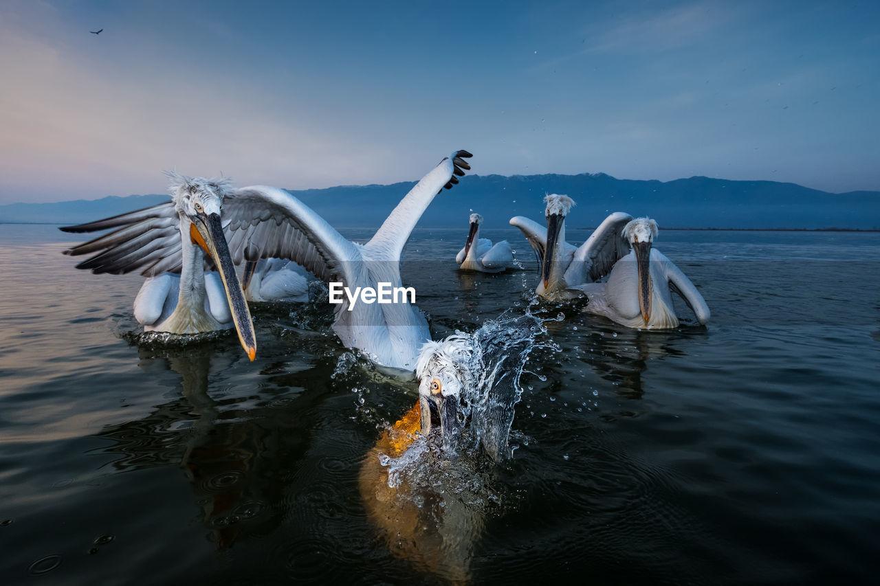 Pelicans Swimming In Lake Against Sky